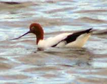 Red Necked Avocet